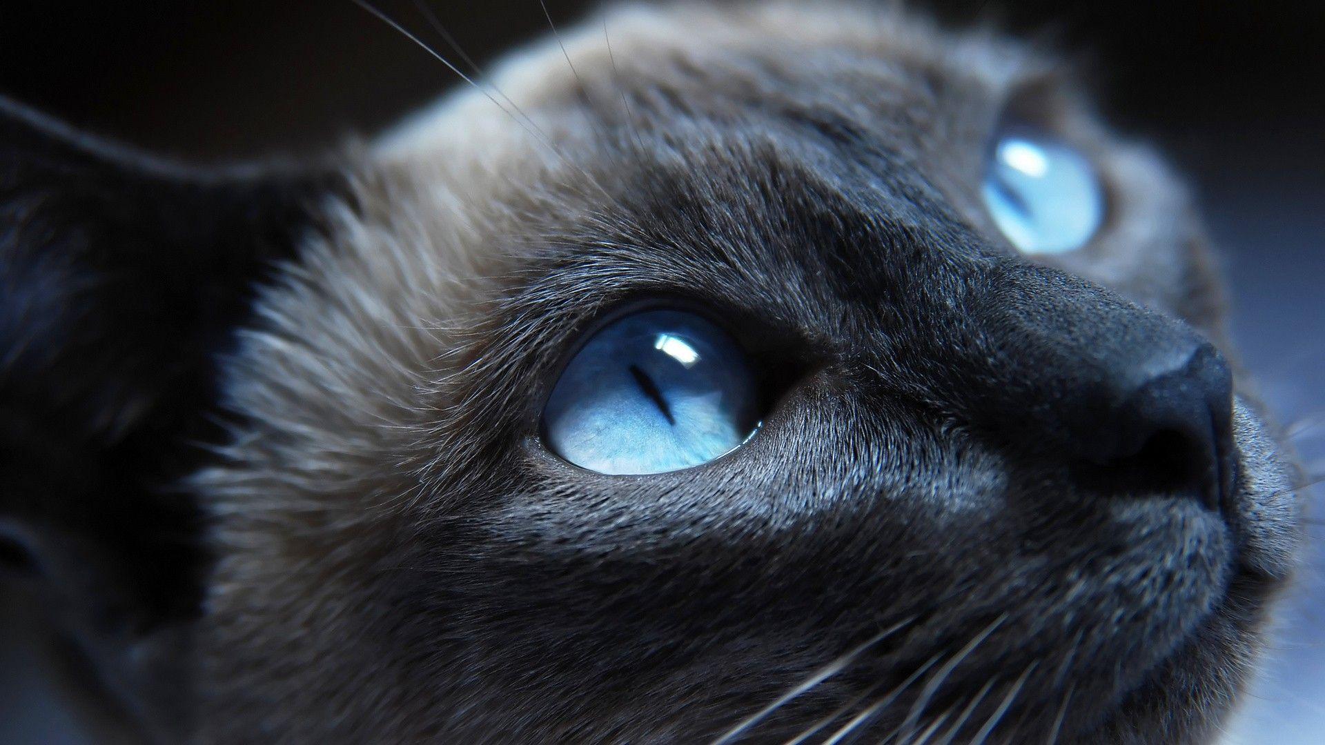 Fond Ecran Animal Gratuit Chat Yeux Bleu Regard Wallpaper Hd Cats