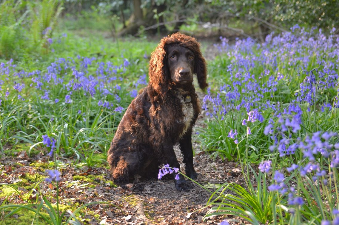 Cutie! Irish Water Spaniel and Springer Spaniel cross
