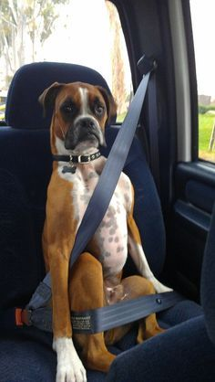Safety For The Pups Is Key This Adorable Boxer Isnt To Sure About This Car Ride Did Someone Say Vet