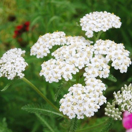 White Yarrow Seeds Achillea Millefolium In 2020 Yarrow Flower Yarrow Plant Achillea