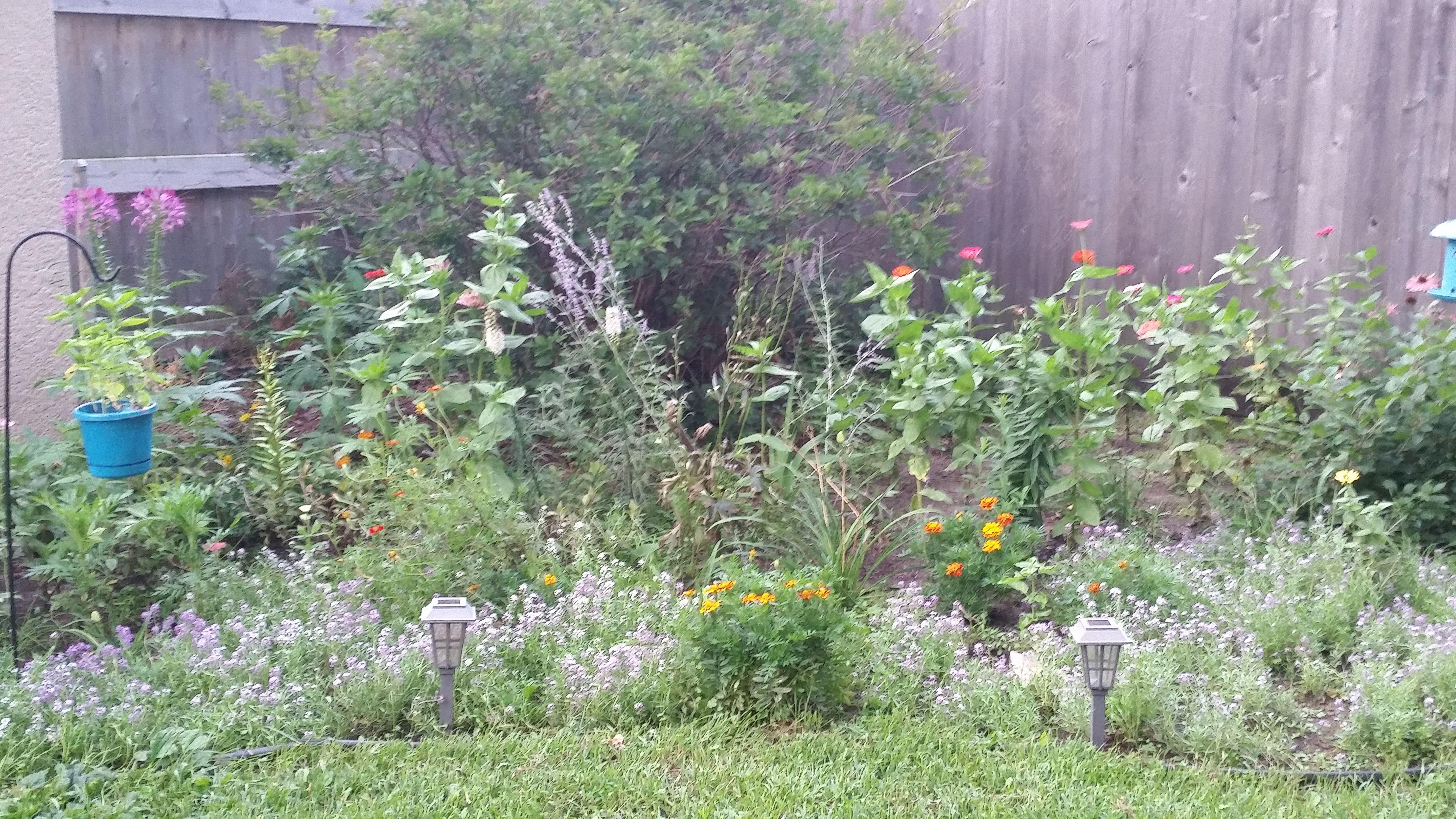 Corner garden: purple coneflower, zinnias, cleome, marigold, lavender and alyssum.