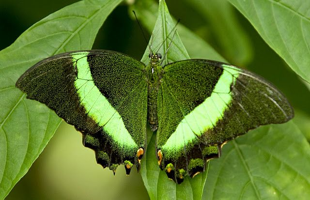 Banded Peacock Butterfly/Emerald Swallowtail