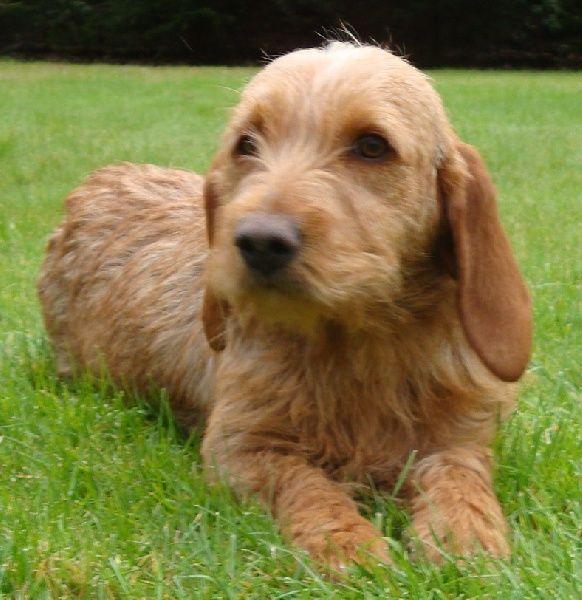 Résultat De Recherche D Images Pour Basset Fauve De Bretagne Honden