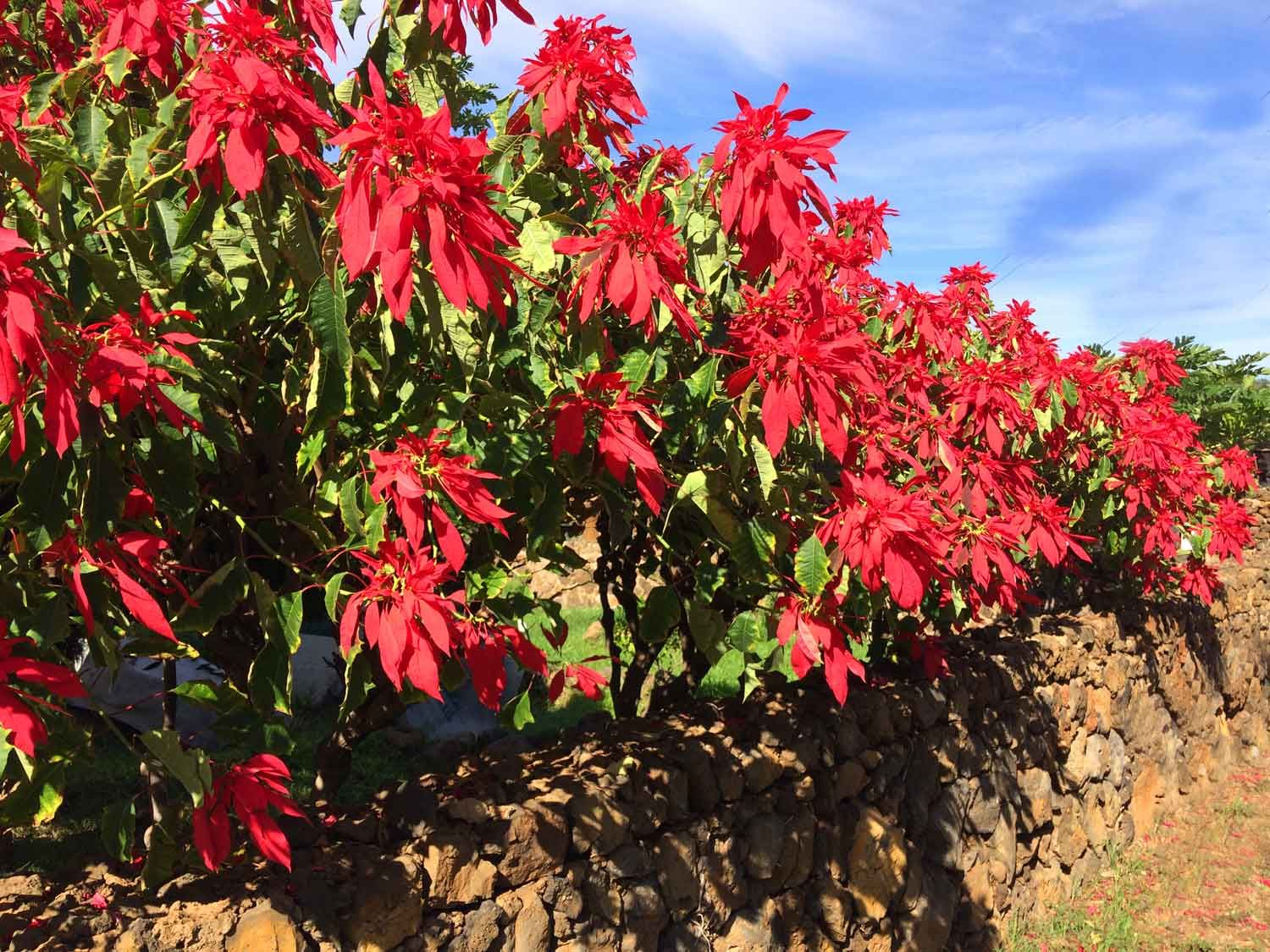 Poinsettia Hedge Growing In Hawaii Stunning I Want One Flowering Trees Tree Seeds Tropical Garden