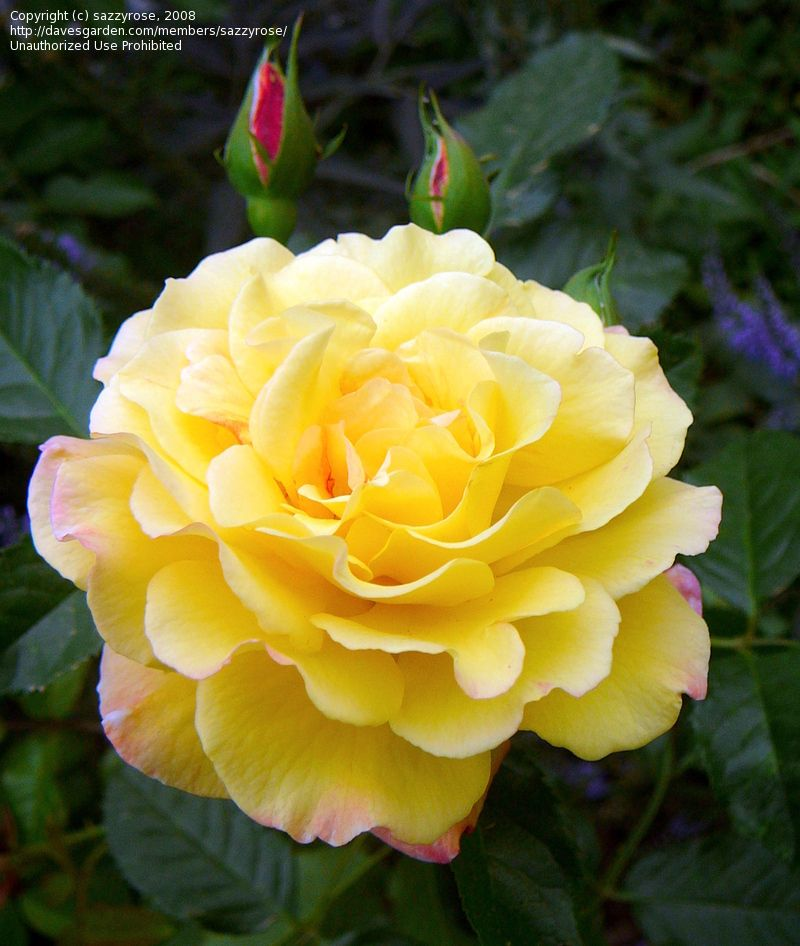 Plantfiles Picture 1 Of Hybrid Rugosa Rose Rugelda Rosa Hybrid Tea Roses Tea Roses Yellow Roses
