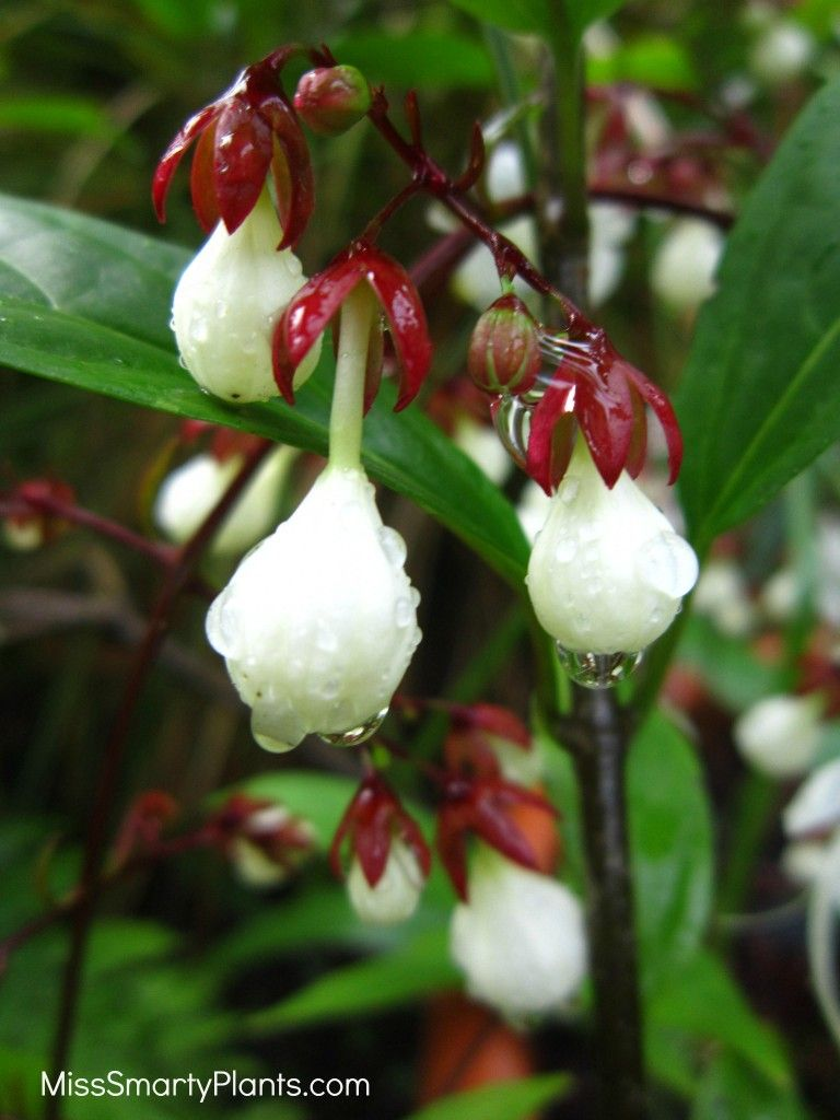 Clerodendrum Smitinandii Light Bulb Plant Unusual White Flowers Look Like Little Bulbs Before Opening Excellent Small Shade For The Garden