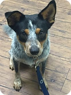 Adopted Blue Heeler Cattle Dog Mix Dog For Adoption In Houston Texas Wally Australian Cattle Dog Mix Cattle Dogs Mix Blue Heeler