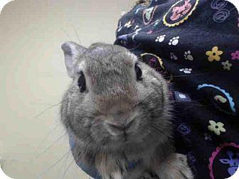 NO LONGER LISTED- Sacramento, CA - Other/Unknown. Meet A484631, a pet for adoption. http://www.adoptapet.com/pet/14536666-sacramento-california-rabbit