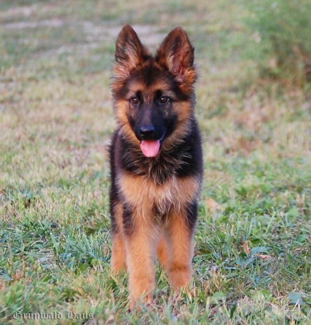GRUNWALD HAUS German Shepherd Dogs Deutscher