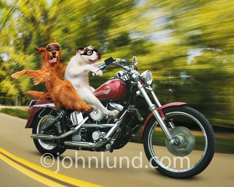 An Irish Setter And A Bulldog Ride A Hog Harley Davidson