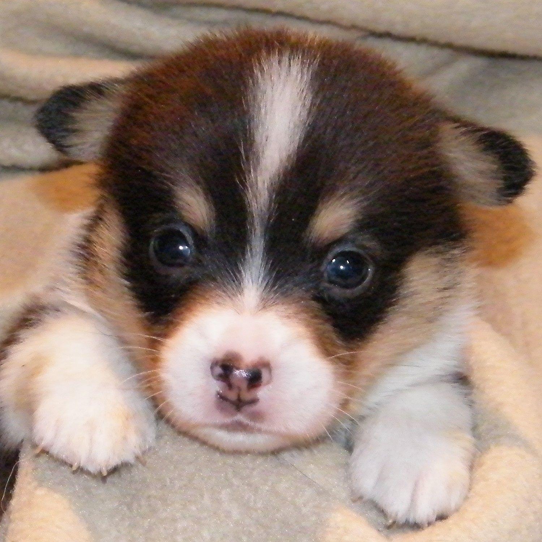 Pembroke Puppies Puppies Corgi Puppy Photos