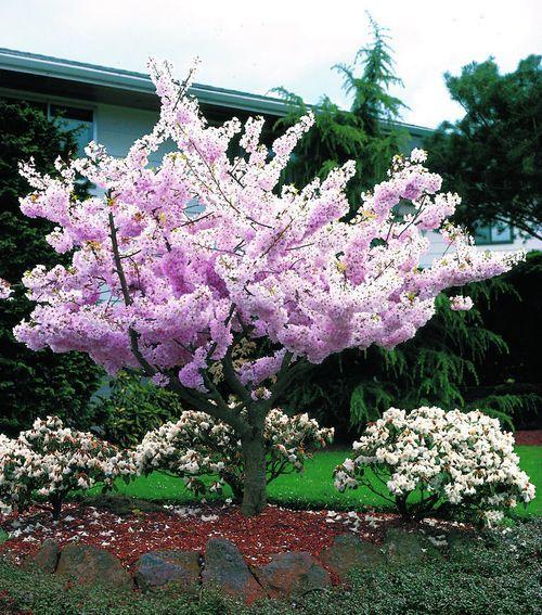 Cherry Trees More Than Just Tasty Fruit Wayside Gardens Voices Cherry Tree Japanese Garden Spring Garden
