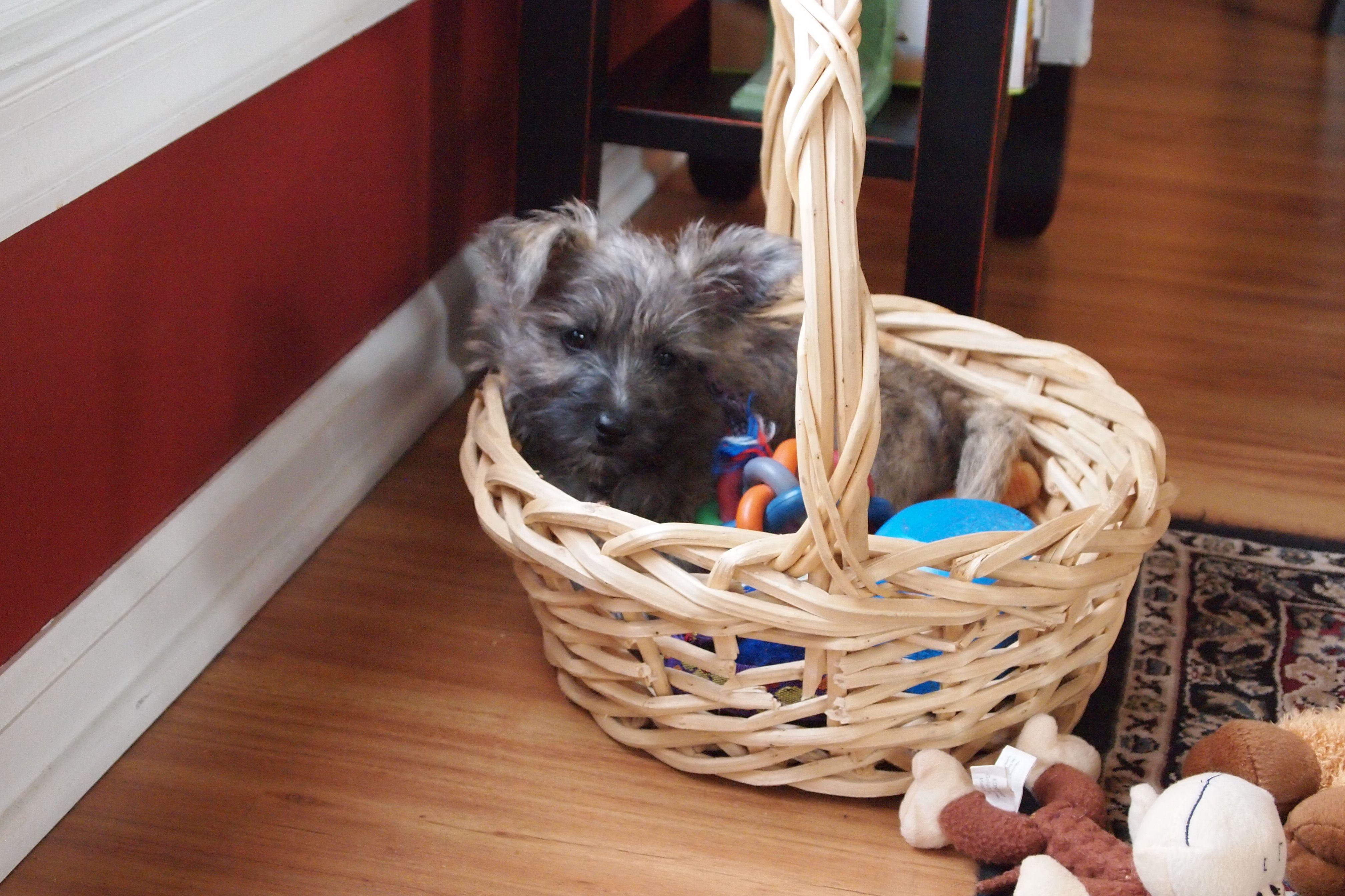 Cairn Terrier In A Basket Cairn Terrier Terrier