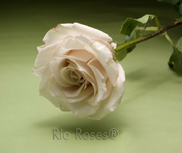 Rio Quicksand Sandy Cream Large Bud Medium Petal Count 8 10 Day Vase Life Available In 40 70 Cm Flower Catalogs Flowers Rose Varieties