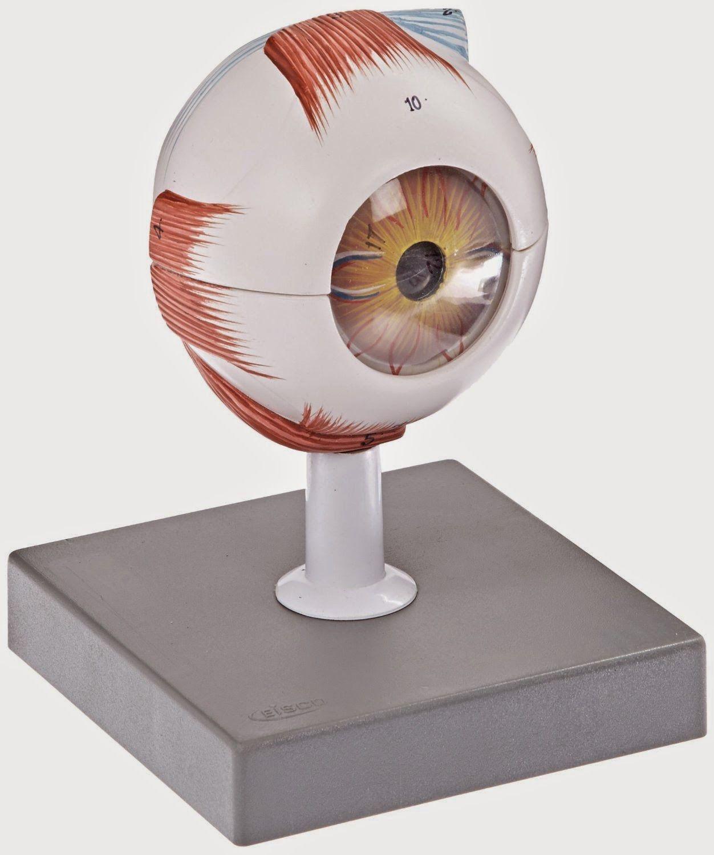 Il Giardino di aiuto: parti dell'occhio Carte nomenclatura e Blackline Master gratis Download - e una Riflessioni sul senso della vista