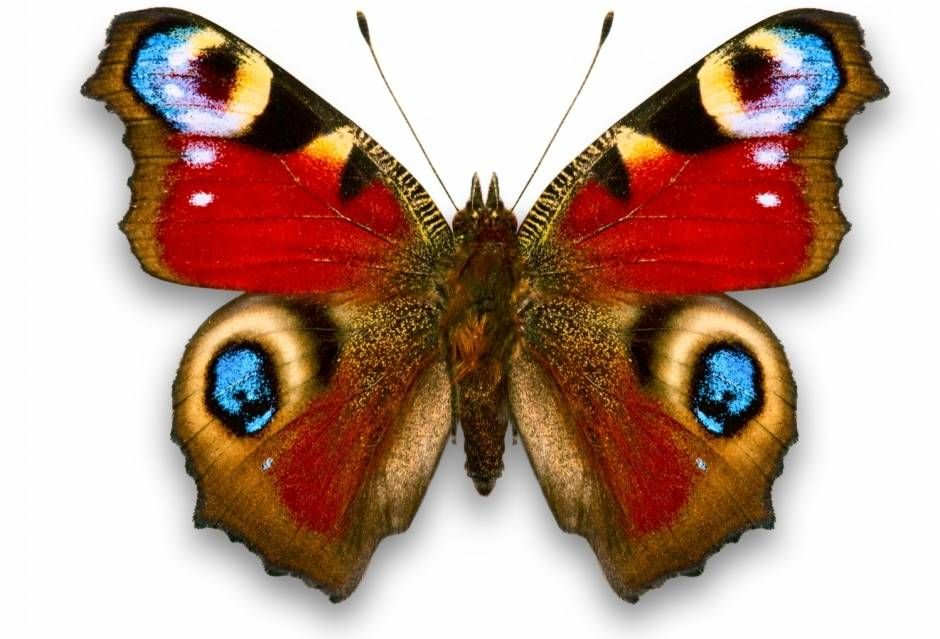 Бабочка фото   Татуировка в виде бабочки, Крылья бабочки ...
