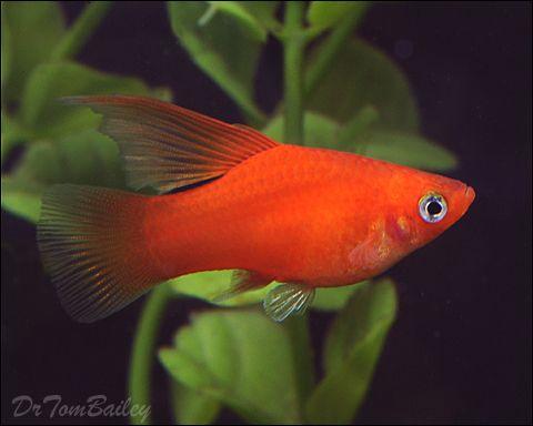 Pin On Aquarium Fish Livebearers