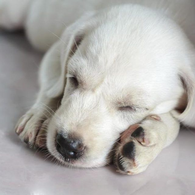How to Help A New Puppy Sleep At Night Sleeping puppies