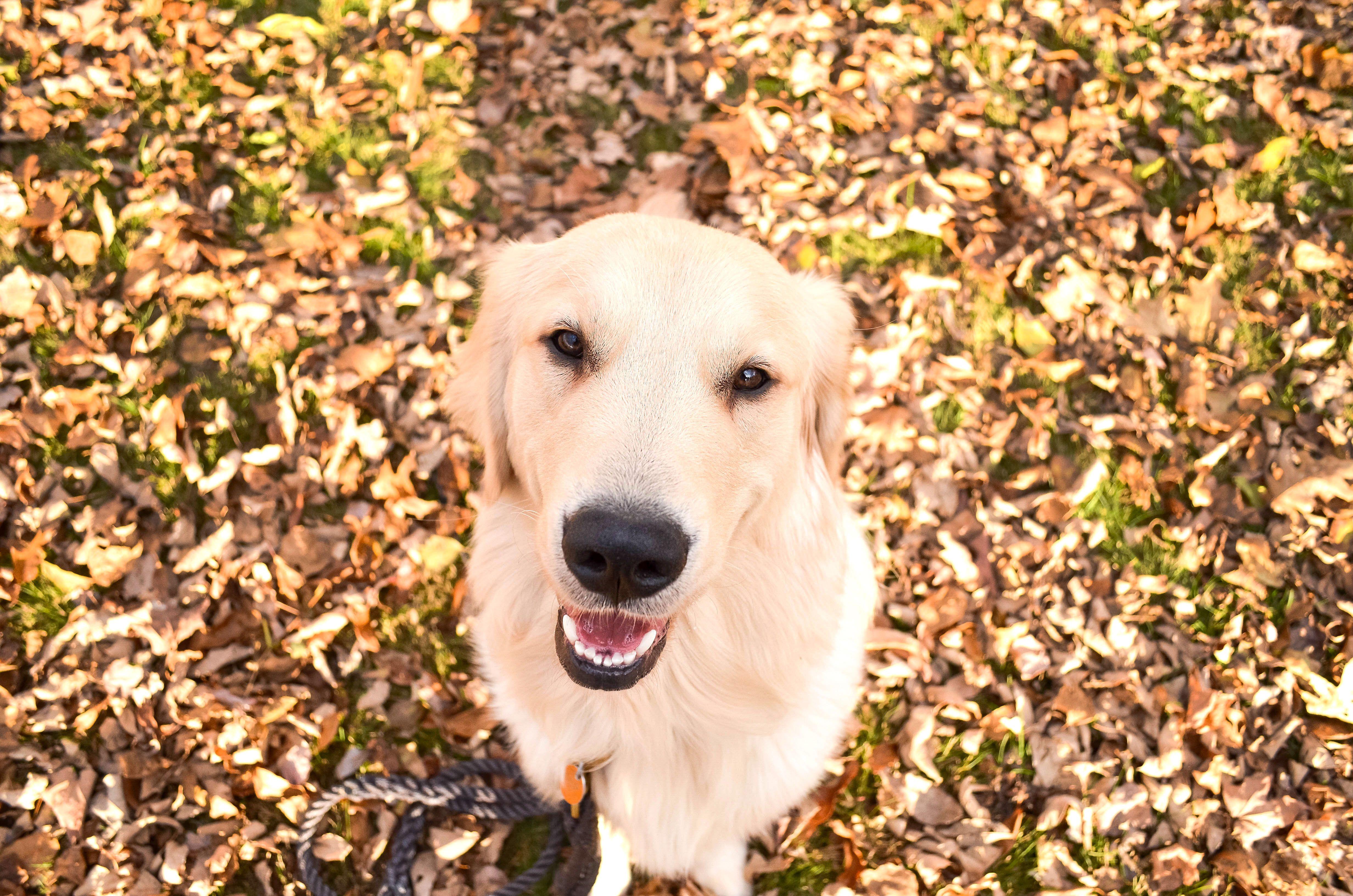 Golden Retriever Puppy Jasper The Friendly Golden Living His Best