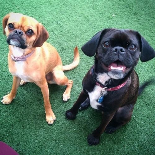 Follow Cute These Two Cute Pug X Cavalier Best Friends At