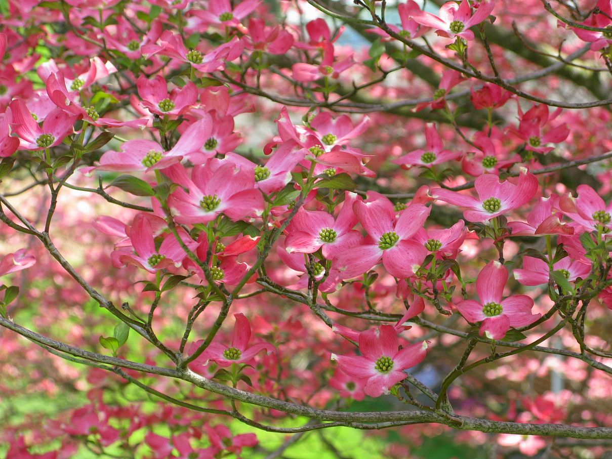 Types of dogwood trees description pink dogwood flower for Tree with red flowers