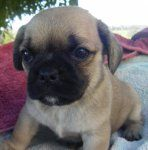 Pugalier Pug X Cavalier Dogs And Puppies For Sale New South