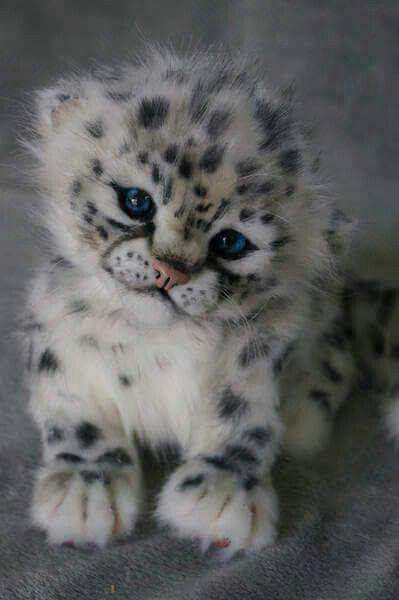 A BABY SNOW LEOPARD KITTEN