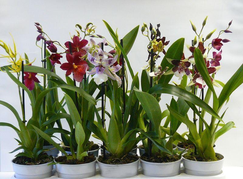 Гибридная орхидея Камбрия: уход и размножение в домашних условиях ...