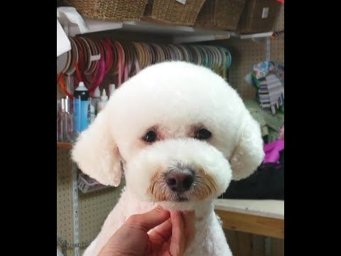 Here I Will Demonstrate The Teddy Bear Face On A Bichon Frise That