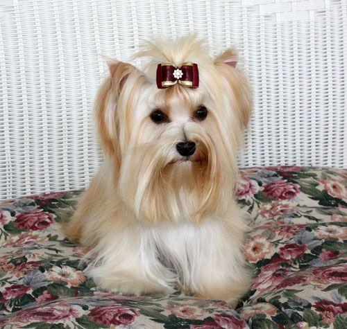 Yorkshire Terrier Yorkshire Terrier Yorkshire Terrier