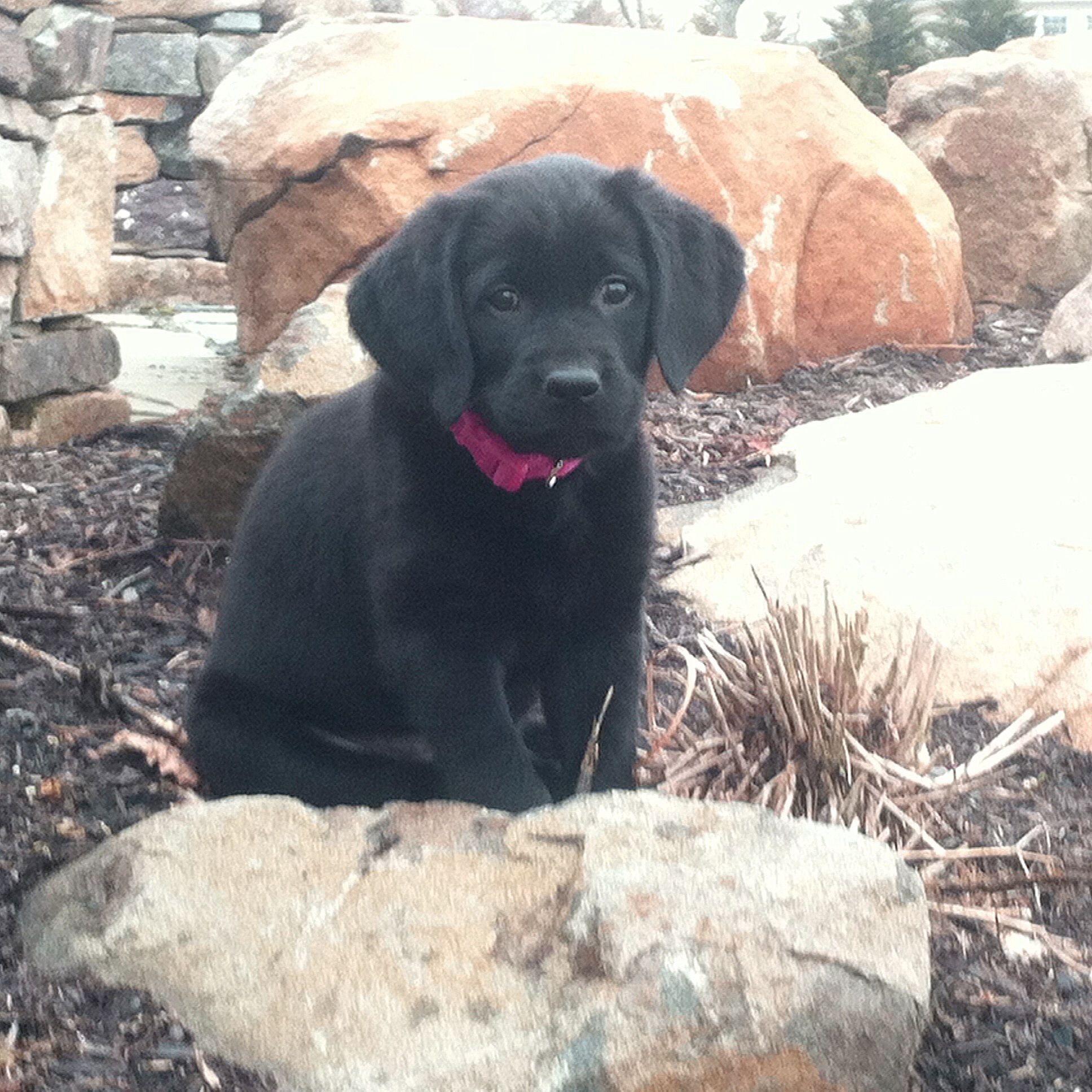 2016 Seeing Eye Puppy Calendar Contest Mrs Carrie Widor The Seeing Eye Puppies Labrador Retriever Seeing Eye
