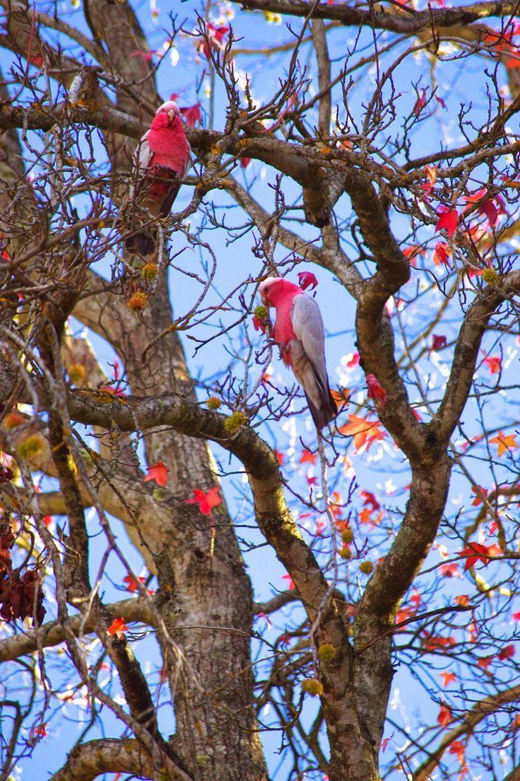 Autumn In The Adelaide Hills Adelaide South Australia Australian Wildlife Australian Birds