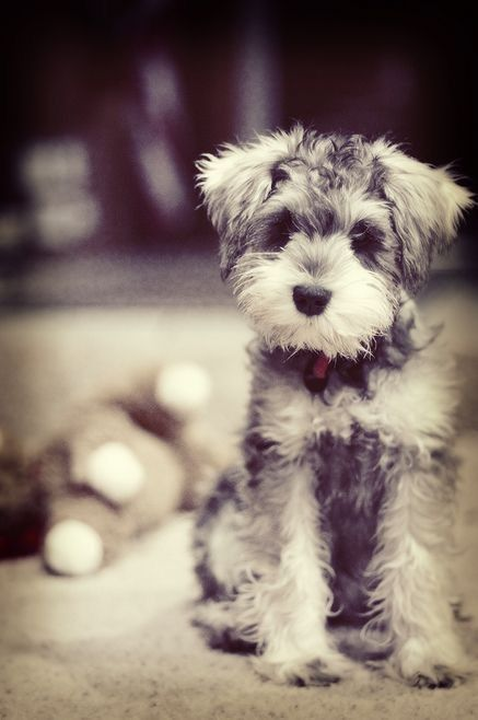 Schnoodle in 2020 Cute animals, Puppies, Lap dog breeds