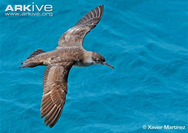 Balearic shearwater in flight  Critically Endangered
