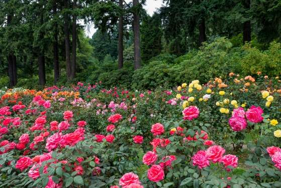 The Portland International Rose Test Garden, a.k.a. the Portland ...