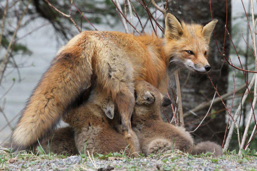 FOX by Davidwagnerdavid