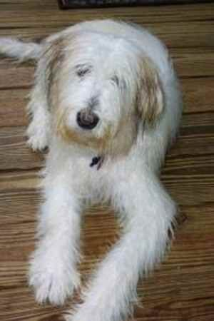 Adopt Mandy On Bearded Collie Dogs Terrier Mix