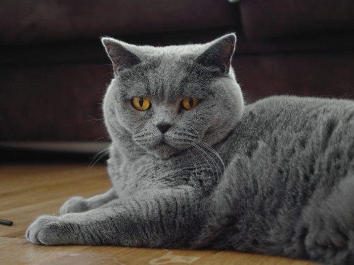Шартрез: описание породы кошек с фото в 2020 г ...