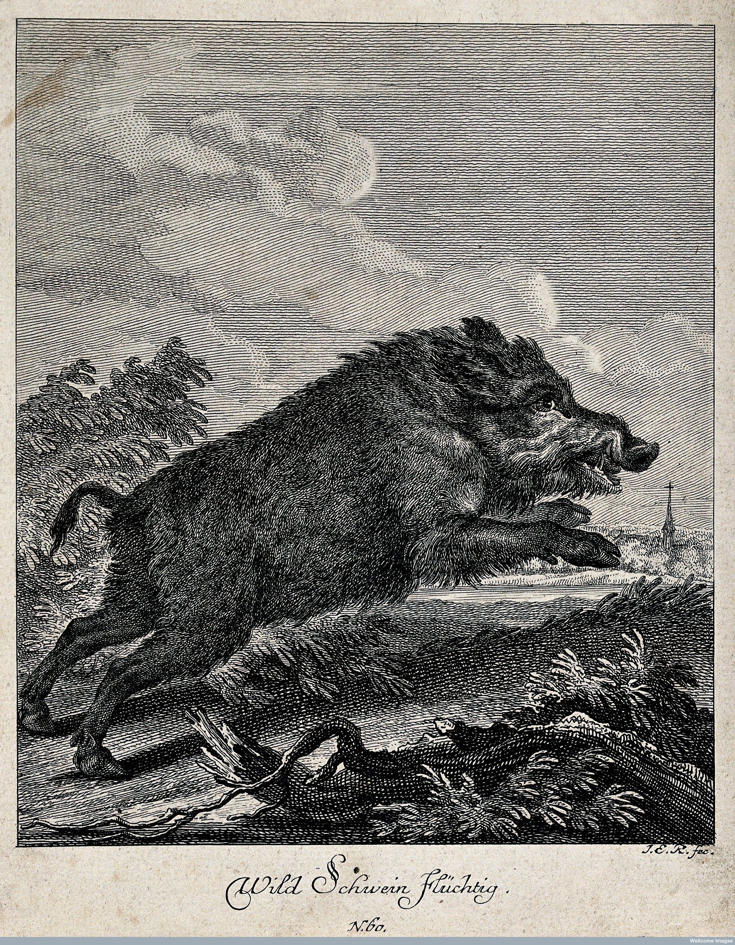 wild boar illustration - Google Search   Art. Art. Art.   Pinterest ...