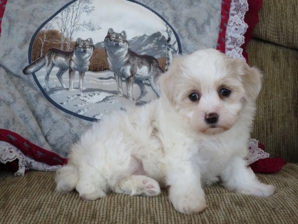 Maxine Havaton Female 750 Havanese Puppies For Sale Havanese