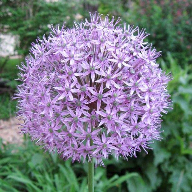 L\'allium Gladiator, un ail décoratif aux ombelles de fleurs violet ...