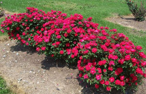 Cute Dwarf Shrubs Knockout Roses Double Knockout Roses