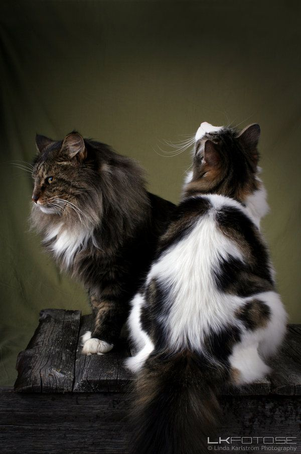 Pin On Norwegian Forest Cat X