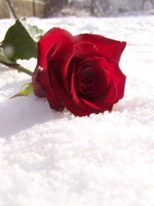 Анимация картинки роза на снегу
