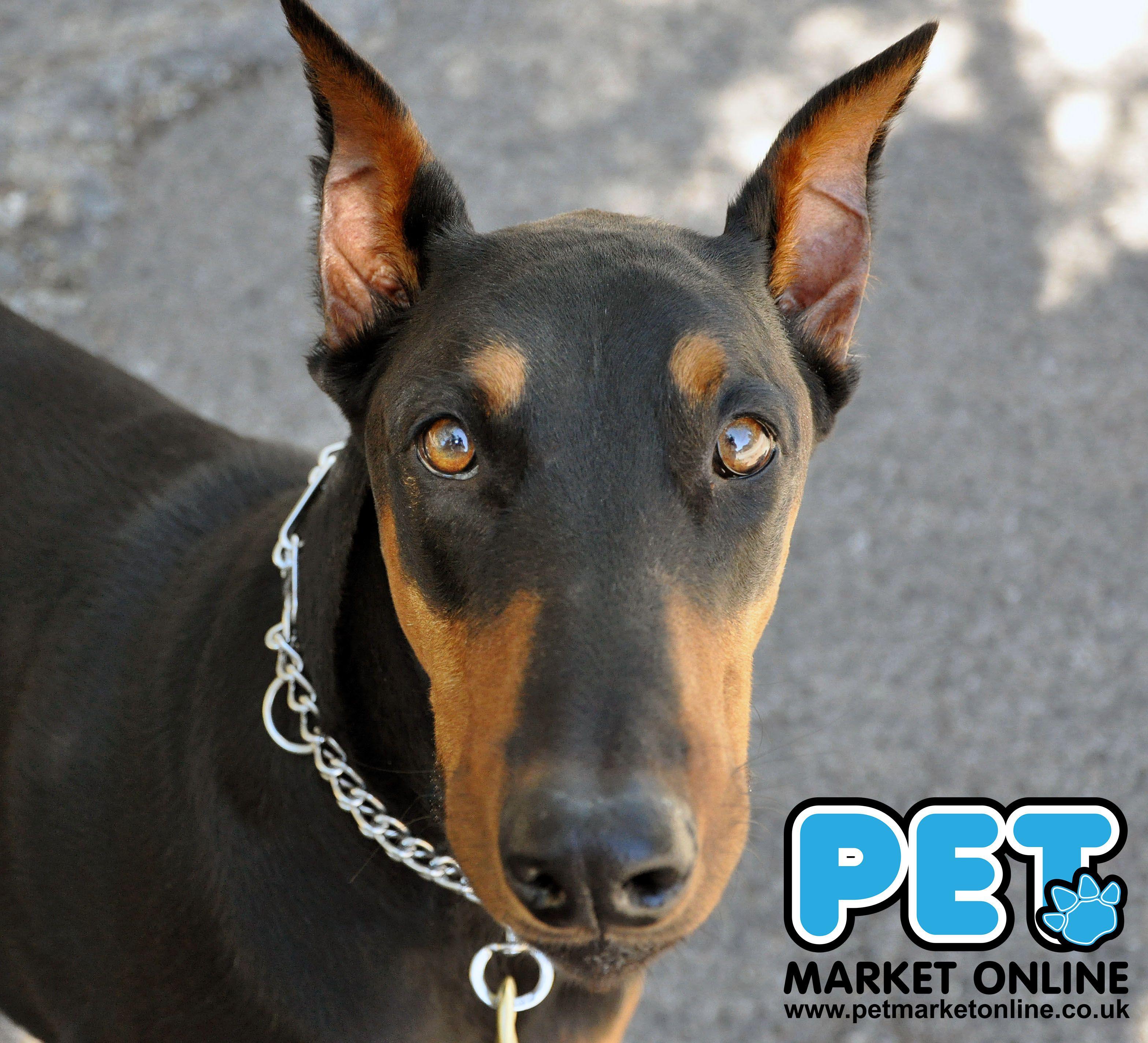 Sunday S Winner Is Doberman Pinscher The Doberman Pinscher Alternatively Spelled Dobermann In Many Co Doberman Pinscher Dog Dog Breeds Doberman Pinscher