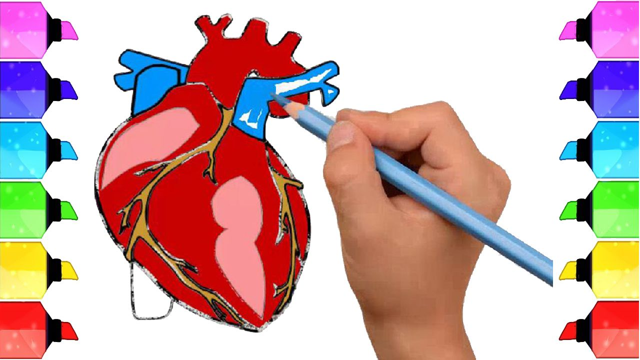 How to draw human heart anatomy color drawing for kids how to draw