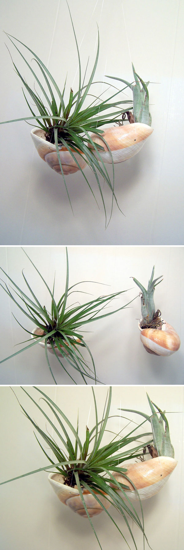 AIR PLANTS Hanging shells w/ air plants made from large