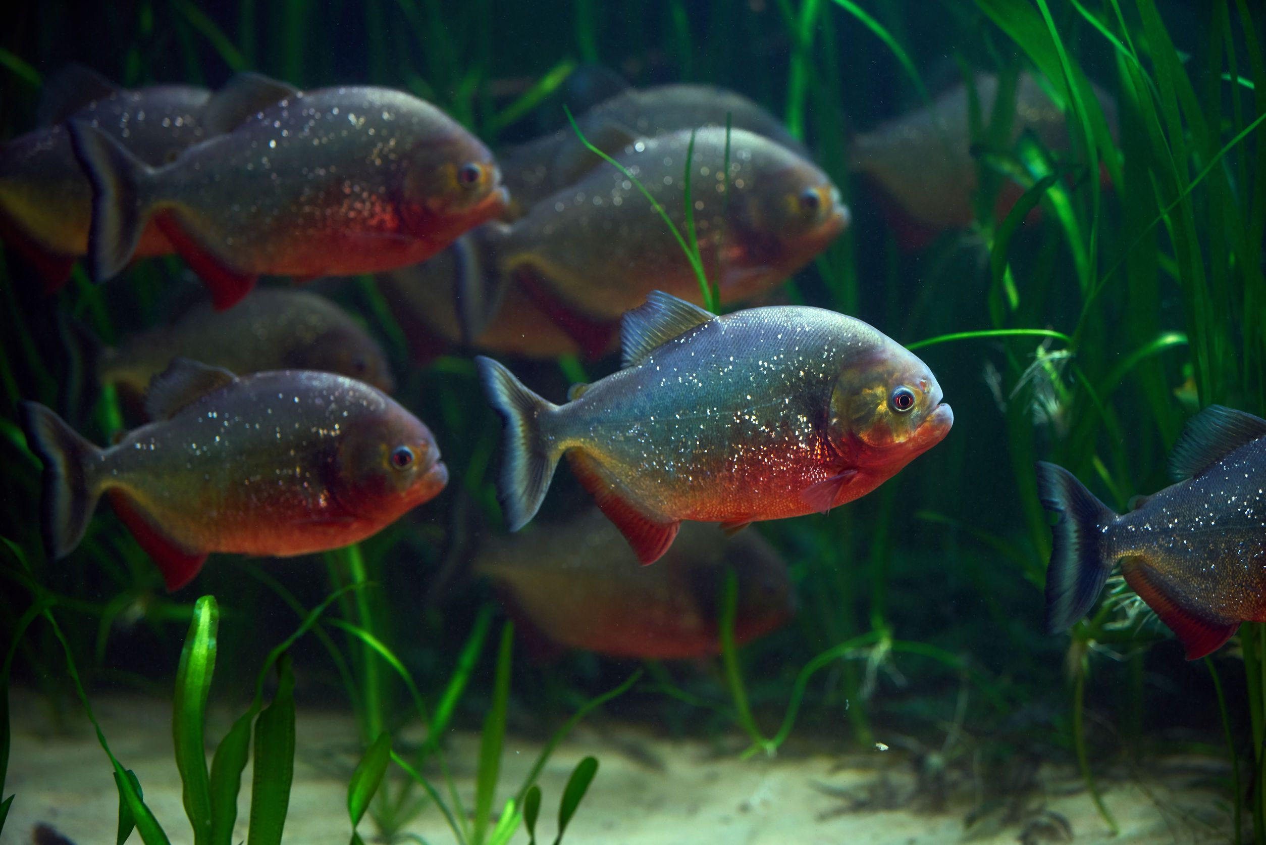 Pin On The Coolest Rare Exciting Scary And Colorful Freshwater Aquarium Fish