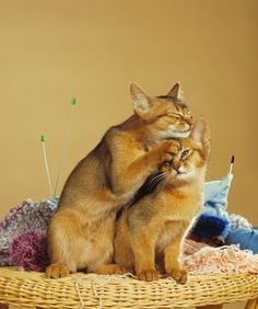 Abyssinian Cat Tabby Breeds
