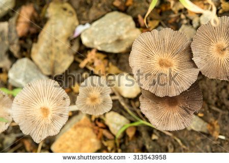 Group of poisonous mushrooms - stock photo